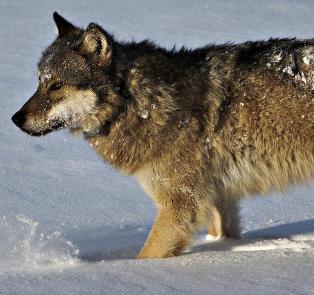 De vil skyte med skarpt. Fordi ulven ikke er norsk nok