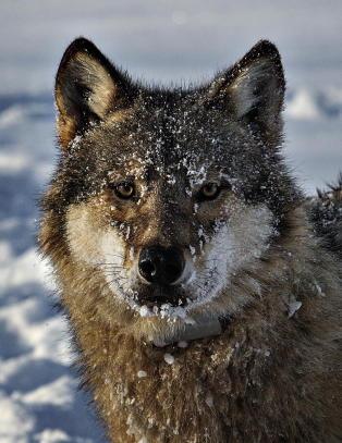 Samtlige nektet for ulovlig ulvejakt i Elverum