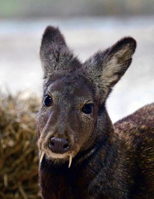 Mener � ha sett uhyre sjelden �vampyr-hjort� for f�rste gang p� 66 �r