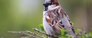421 millioner f�rre fugler i Europa enn for 30 �r siden