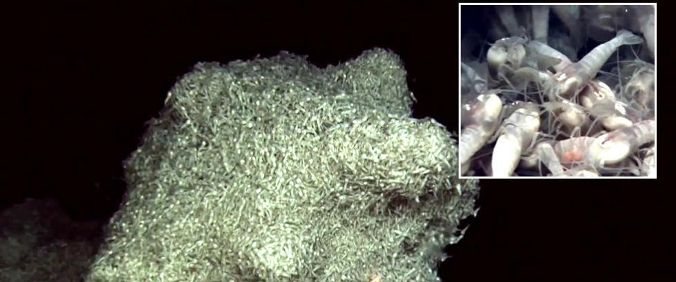Disse blinde rekene lever p� havets bunn og kan avsl�re liv p� andre planeter