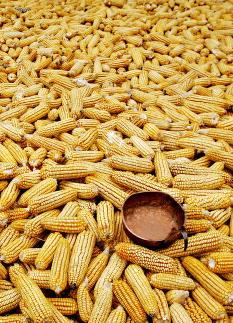 �GMO-industrien st�r bak mye av forskningen�