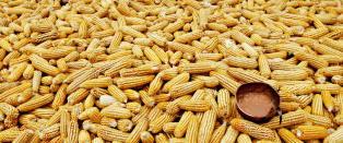 Moderne bioteknologi, GMO - biosikkerhet og behovet for uavhengig forskning