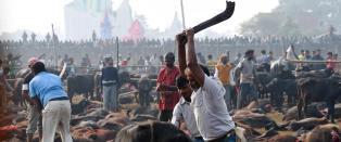 - 500 000 dyr ofres i hindu-festival i Nepal