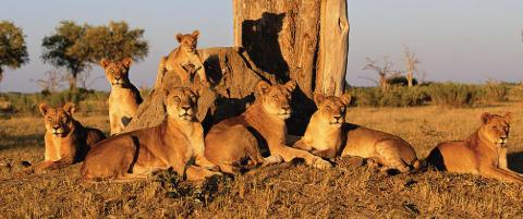 Afrikas mest fryktede rovdyr