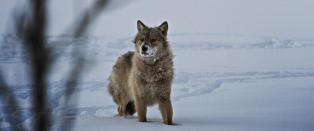 En bj�rnetjeneste for ulven