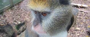 Forskere har oversatt apeskrik til engelsk