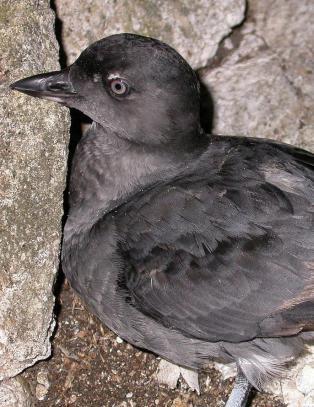 Flere hundre alkefugler funnet d�de langs stillehavskysten