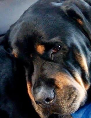 Rottweileren Brutus nekter � forlate sin d�de bror