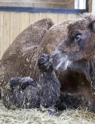 Kamel f�dt i Dyreparken