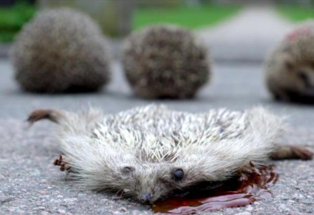 Fikk problemer da de skulle filme pinnsvin som blir drept i �Kampen for tilv�relsen�
