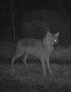 �Forferdelig�, �man glemmer at ulven er et kj�ttetende rovdyr�, �propaganda fra ende til annen�