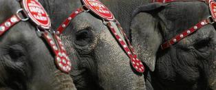 Sirkuset gir etter for presset: Dropper elefantene