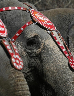 Sirkuset gir etter for presset fra dyrevernerne: Dropper elefanter i showet