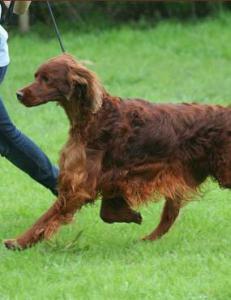Mener sjalu hundekjenner forgiftet Jagger (3) til d�de. Seks hunder skal ha blitt forgiftet p� prestisjeshow