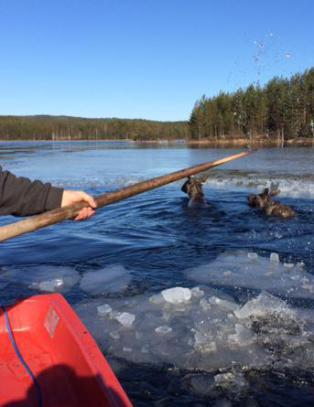 Her redder Kjetil elgkua og kalven fra drukningsd�den