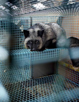 Norge trenger ikke pelsdyroppdrett