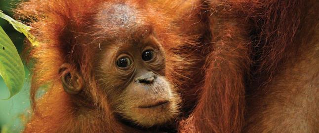 De har nesten identisk DNA som mennesket, men trues av jakten p� palmeolje