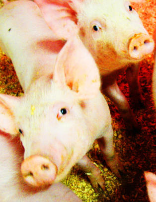 Mistanke om svinesykdom i Nordland