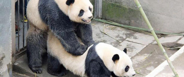 Kjempepandaen Lu Lu hylles etter � ha knust sin egen sexrekord