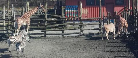 L�p etter hjelp da sjiraffen Melvin (5) satt seg fast i gjerde i Dyreparken i Kristiansand. - Vi fant ikke �n vakt