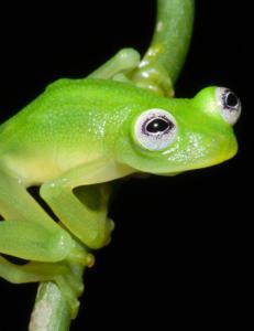Forskere har oppdaget gjennomsiktig �Kermit�