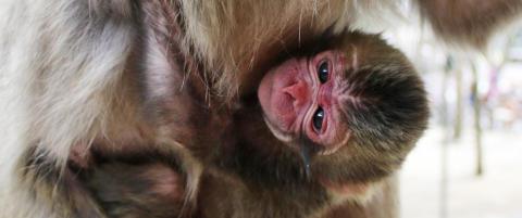 Dyrehage kalte opp apekatt etter prinsesse Charlotte