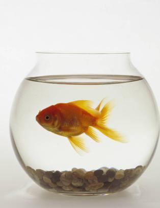 N� er mennesket tatt igjen av gullfisken i konsentrasjonsevne