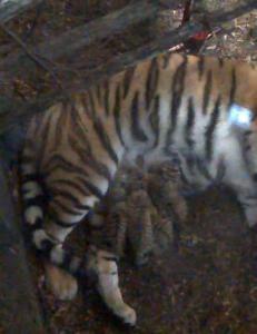 F�dte fire tigerunger 17. mai
