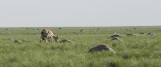 P� bare noen dager har 85 000 utrydningstruede antiloper d�dd p� mystisk vis