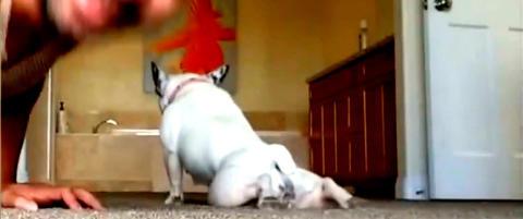 Slik hermer dyrene etter oss: Denne hunden tar push-ups med eieren sin