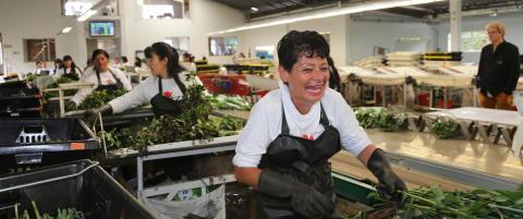 2600 moh. utenfor Bogota, ligger 240 gartnerier som dyrker blomstene du kj�per i butikken
