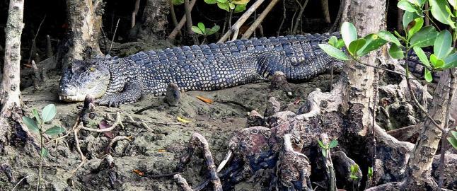 P� elvecruise fra Port Douglas m�ter du noen av verdens st�rste krokodiller