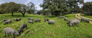 I Extremadura s�rvest i Spania g�r verdens mest eksklusive svin p� skogen