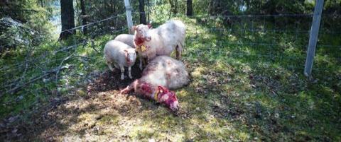 L�s hund drepte sau - skutt av bonden