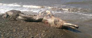 Forskerne kl�r seg i hodet etter funn av �sj�monster� med pels