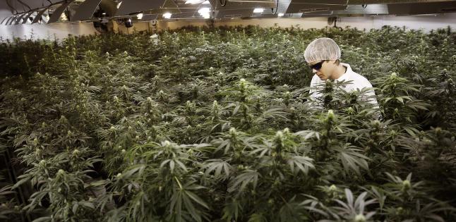 Norsk lege sammenlikner medisinsk cannabis med r�ntgenstr�ler og 7 Up. Men politikere p� Stortinget er positive