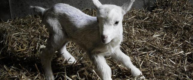Dagbladet mener: Det er forkastelig � drepe nyf�dte dyr