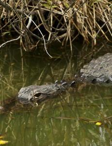 Mann h�net alligator og hoppet uti vannet - ble drept