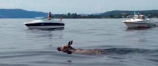 Elg druknet i Mj�sa. Ble stresset av alle b�tene som fulgte etter den