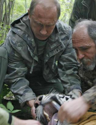 President Putins tiger drepte og spiste bj�rn