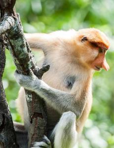 Sommerens villeste forsikringskrav: �Rundstj�let av ape i Brunei�