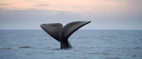 Sju myter om norsk hvalfangst
