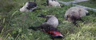Stadig flere nordmenn vil verne om rovdyra