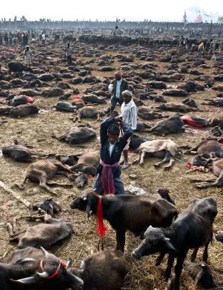 Nepalsk tempel stanser masseslakt av dyr