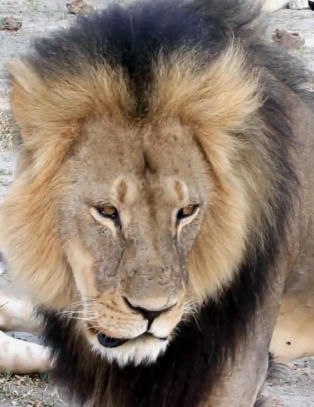 Amerikansk mann er sikta for � ha drept l�ven Cecil (13)