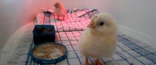 Kj�pte egg p� butikken - fikk to kyllinger