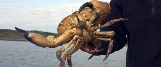 Grotesk sommertrend: Fanger krabber, river av dem kl�rne og kaster dem tilbake i vannet
