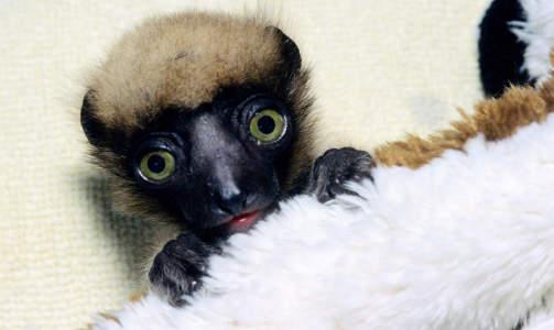 EN BABY-LEMUR ER F�DT: Denne lille krabaten ble f�dt i Paris Vincennes Zoo p� julaften 2007. Lemur-arten som kalles Crowned Verreauxi Sifakas (latin: Propithecus verreauxi coronatus) finnes bare p� det nordvestlige Madagaskar. Foto: Parc Zoologique de Paris