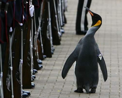 NORSK KJENDIS BLIR ADLET: Kongepingvinen Nils Olav paraderer forbi Kongens Garde i Edinburgh Zoo under seremonien der han blir sl�tt til ridder. Nils Olav har v�rt �resmedlem og maskot for garden siden 80-tallet. Foto: David Moir